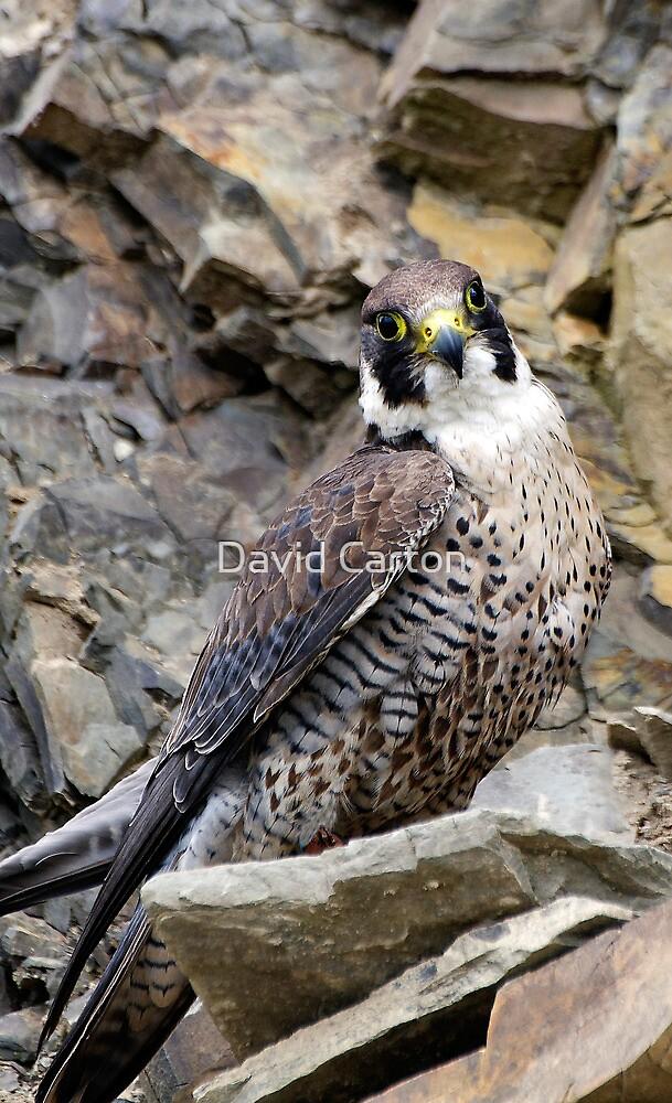 Peregrine Falcon (Falco Peregrinus) in quarry by buttonpresser