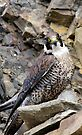 Peregrine Falcon (Falco Peregrinus) in quarry by David Carton
