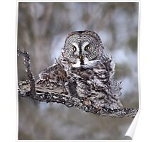 Great Grey Owl Squared Poster