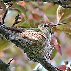 Hummingbird mother on nest by Heidi Rand