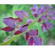 Lupin Haze Photographic Print