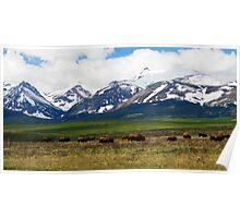 Bison on the Front Range Poster
