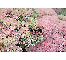 Bumble Bee on Autumn Joy Sedum Photographic Print