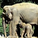 ASIAN   ELEPHANT WITH  TWO DAY OLD CALF by Johan  Nijenhuis