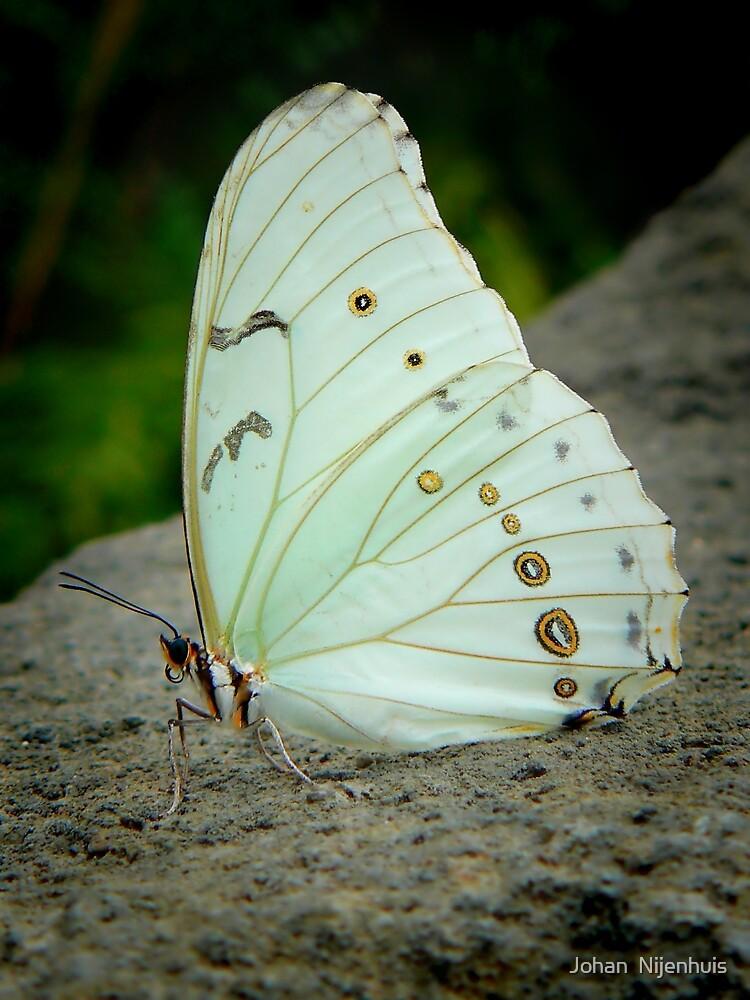 WHITE MORPHO (Morpho polyphemus)  by Johan  Nijenhuis