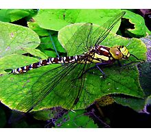 Perfect Landing Dragonfly © Photographic Print