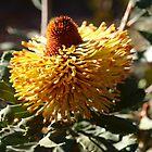 Banksia epica flower by kalaryder