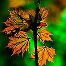 New England Maple by LudaNayvelt