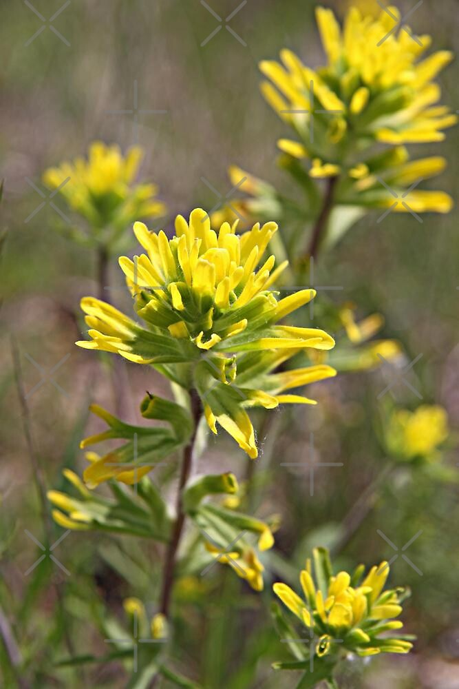 Yellow Indian Paintbrush by Vickie Emms