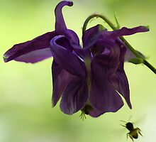 Purple Columbine - Bee Approaching by T.J. Martin