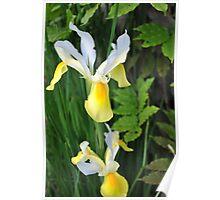 Twin Dutch Iris Poster