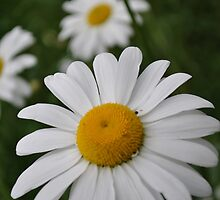 The perfect Daisy by Tamara Lindsey