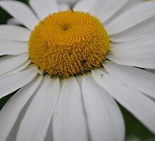 Sunny Daisy by Tamara Lindsey