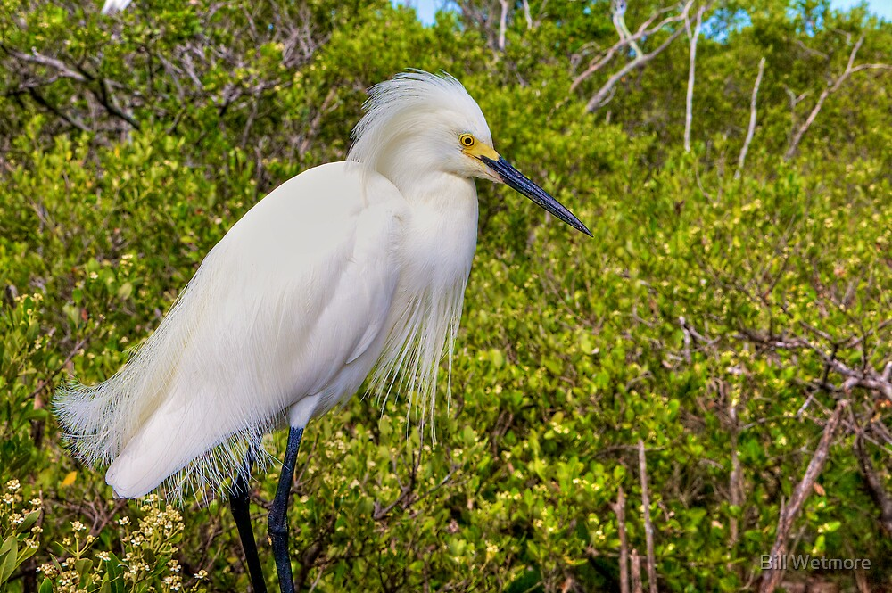Egret Plumes by Bill Wetmore