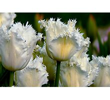 SIMPLY WHITE  PARROT TULIPS Photographic Print