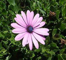 AFRICAN DAISY by Tamara Bush