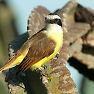 Great Kiskadee by Robert Abraham