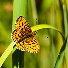 Uncommon Butterfly by Robert Abraham