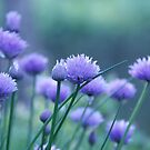 chives by Anne Seltmann