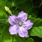 Smooth Ruellia by debbiedoda