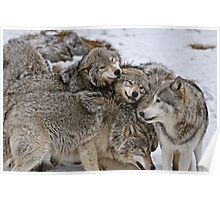 Playful Wolf Pack Poster