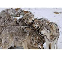 Playful Wolf Pack Photographic Print