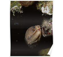 Golden Moray Eel Poster