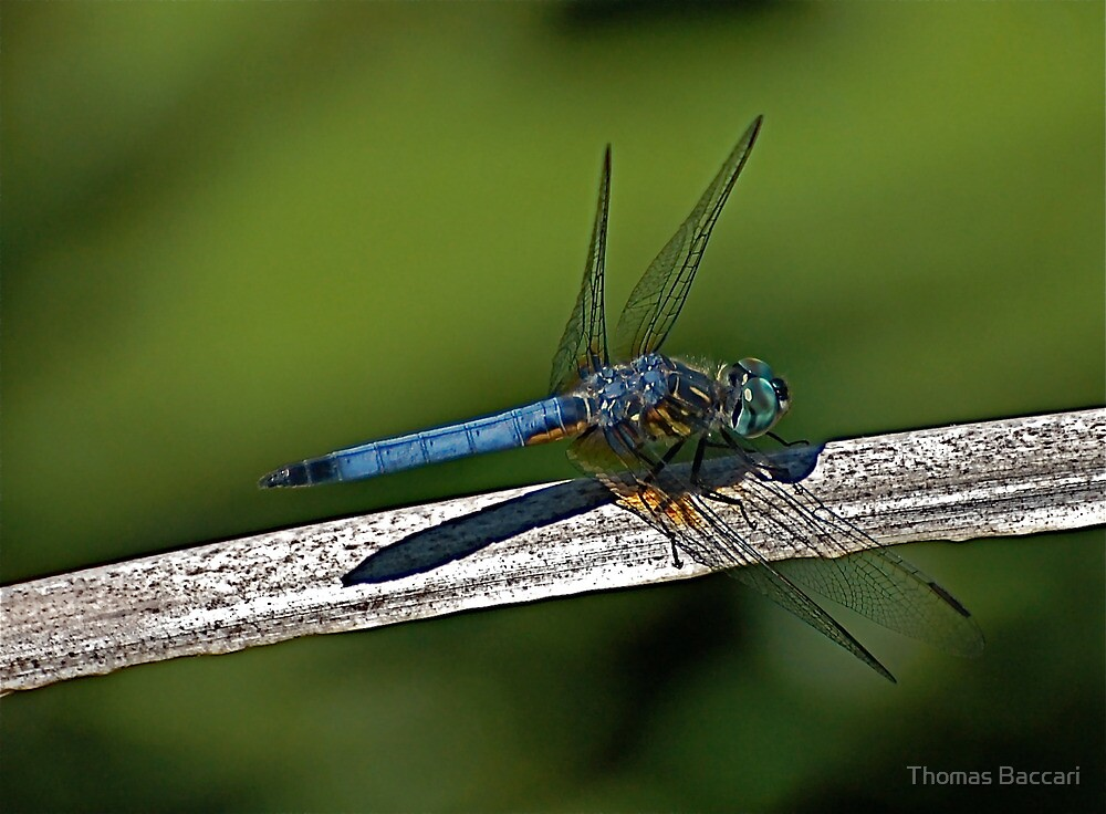 The Dragonfly by TJ Baccari Photography