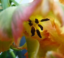 'Curly' Tulip by HeklaHekla