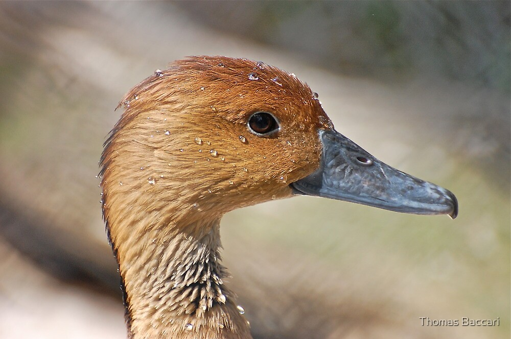 Female Whistling Duck and she says I'm sweating ducks aren't supposed to sweat by TJ Baccari Photography