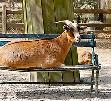 The Goat who make himself at Home by imagetj