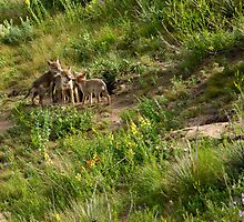 Coyote Pups by Jay Ryser