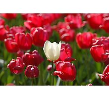 White Tulip amongst Red Tulips Photographic Print