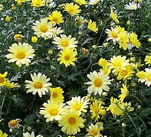 Field of Yellow Daisies by BarbL