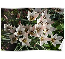 A Bunch of Miniature Tulips Celebrating the Spring Season Poster