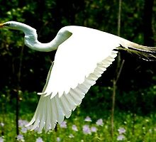 Great Egret - Brazos Bend State Park by Ann Reece