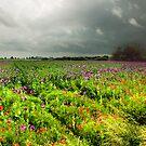 poppies by Dan Shalloe