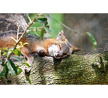 SLEEPING FOX Photographic Print