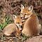 Fantastic Foxes Challenge!