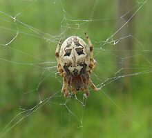 Garden Spider by sarnia2