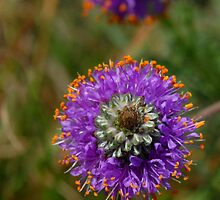 Purple Prairie Clover by Colleen Drew