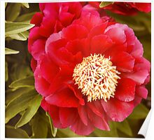 Peony Flower at the Central Experimental Farm Poster