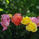 Roses by Karen Checca