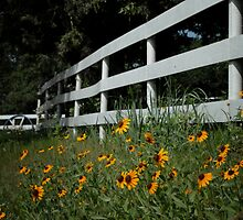Black Eyed Susans along the Fence by Colleen Drew