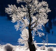 Frosted Cottonwood Tree in Yellowstone National Park by cavaroc