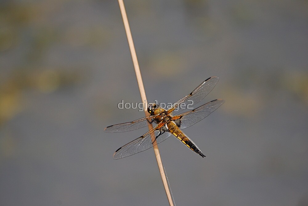 Four Spotted Chaser by dougie1page2
