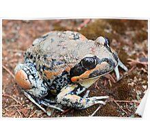Giant Banjo Frog Poster