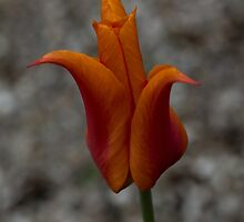 A Flamboyant Flame Tulip in a Pebble Garden by Georgia Mizuleva