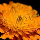 Spring fountains [Pilosella aurantiaca] by George Parapadakis (monocotylidono)