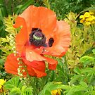 Large Poppy by Barry Norton